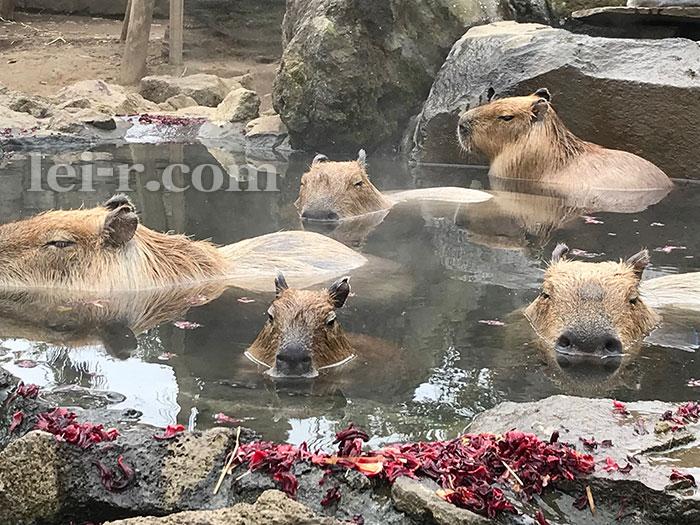 伊豆シャボテン公園のカピバラ露店風呂入浴