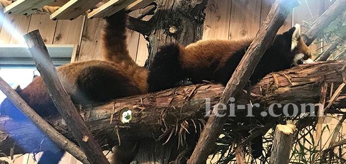 伊豆シャボテン公園レッサーパンダ